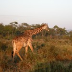 キリンも多く見かけた。写真はギザギザした模様からマサイキリン(masai giraffe)と思われる。よりキレイな模様はアミメキリン(reticulated giraffe)。いずれも動物いち背が高いことはご存知のとおり。