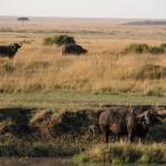 アフリカンバッファロー。のんきに草を食べているように見えるが、草食動物の中ではもっとも気が荒く、クルマをひっくり返すこともあるとか。救助や復讐の観念もあるらしく、襲われた仲間を助けたりライオンを追いかけたりする。