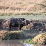 体高1.7m、体重400~900kg。アフリカンバッファローは、雄雌問わず、頭に立派な太い角を生やしているが、雌のそれは小さい。歳をとるごとに左右の角は頭上中央に寄ってくるという。