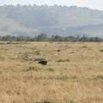 大草原にたたずむダチョウ(ostrich)。体高2.5m、体重100~130kgで、現存する鳥類のなかで最大のサイズを誇る、が飛べない。しかし脚力は立派なもので、時速70~80kmで走れるとか。
