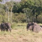 ゾウは10~20頭の雌と子供で群をつくる。雄は単独か独身集団として行動し、発情時期に群と合流するという。巨体を維持するために毎日250kgもの食料を採る大食漢だ。