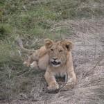 背の高い草木が生えた場所に近寄ると、ライオンの家族がのんびりと過ごしていた。子ライオンは、ネコ科の動物らしくネコのようなライオンのような姿をしている。かわいい。