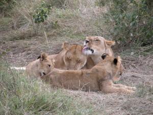 ほのぼのとした家族愛、お互い身を寄せ合い、舐めあいながら、すっかりリラックスするライオン一家。獰猛な肉食獣らしからぬシーン、と思うが、実はライオン、最強とはいいがたい一面もあるとか。