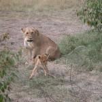 まず「百獣の王」は狩りがそれほど上手くないらしい。成功率は平均2割程度といわれ、他の肉食獣がしとめた死肉を食することもあるとか。タテガミが凛々しい雄は基本的に狩りを行わず、雌がハンター役を務めるらしい。