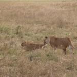 子育ては雌の役割。プライド内の雌が共同で行うという。狩り、育児を雌が受け持つとなると、雄の役割って……と疑問を抱きたくもなるが、少なくともプライド内の雌を守るという役目は担っているようだ。