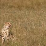 狩りはライオンより上手といわれる同じネコ科のチーター(cheetah)。食事中で、顔をあげたら口のまわりに血がついていた。野生でもひとを襲うことはないらしい。朝夕に活発に動きまわる昼行性。