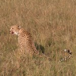 頭は小さく、足は長い、無駄のない身体つき。逞しいライオンとは好対照だ。体高85cm、長さ1.5m、体重65kg。主にアフリカのサバンナに生息しているという。長く突出した爪がスパイクの役目を果たす。