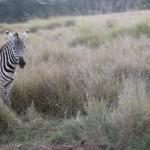 サバンナの各所で見られるサバンナシマウマ(burchell's zebra)。ヌー(wildebeest)とともに季節ごとの大移動を行うことで知られる。1頭の雄を中心に数頭の雌で構成されるハーレムの群を形成するとか。