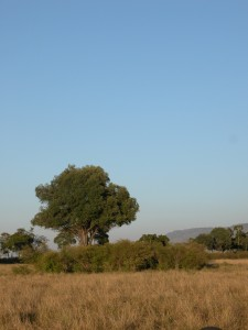 大草原が広がるマサイ・マラだが、その合間には木々も生えている。