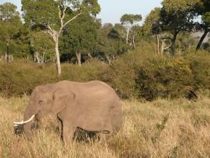 ゾウはコミュニケーション能力に長けた動物だという。唸り声や身体から発する分泌液などに加え、人間には感じとれない低周波を足でキャッチ。数十km離れても交信できるというから驚きだ。