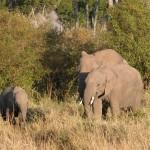 ゾウの雄雌の見分け方は、生殖器や牙に加え、頭のカタチでもわかるとか。雄は丸みを帯びており、雌は角張っている。