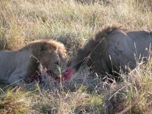 ライオンの食事風景。狩りの瞬間を目撃することはできなかったが、2頭のライオンがシマウマを食しているところに遭遇した。