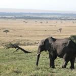 ゾウとマサイ・マラ。門歯が発達した牙は一生伸び続けるという。
