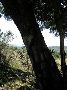 オプションツアーでマサイ族の村を訪れた。これは村の裏に生える1本の木で、樹皮は薬として用いられるという。