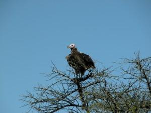 陸上動物のみならず、鳥類も多く見かける。ハゲワシ(vulture)は、遠くを見つめ、獲物を探しているようだ。