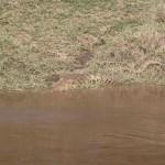 あまりに見事な保護色ゆえ、見つけることが難しい川辺のワニ(crocodile)。たぶん東アフリカの沼や川に生息するナイルワニだろう。人害も多いとか。