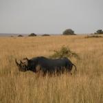 密猟によって絶滅危惧種に指定されるまで激減したクロサイ(black rhinoceros)を発見。体高1.6m、長さ3~4m、体重800~1400kg。群はつくらず単独で行動する。朝日を浴びながらノソノソと歩いていた。