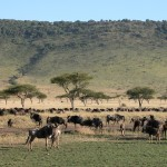地の果てまで続きそうな気の遠くなるような数のヌーに遭遇。食料となる草を求めて、タンザニアはセレンゲティとマサイ・マラを150万頭が大移動することはあまりに有名。決死の川渡を目撃することは残念ながらできず。