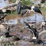 """屍をついばむアフリカハゲコウ(marabou stork)やハゲワシ。死体に顔を突っ込んでも汚れないよう顔には毛がない。死骸は腐り養分として地に返るだけでなく、動物たちの栄養として""""利用""""される。食物連鎖、輪廻のありさま。"""