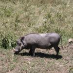 こちらはイボイノシシ(warthog)。体高70cm、体重は平均5、60kg、昼間行動する。イボを持つユーモラスなフェイス。ちょこまか動くさまにも愛嬌がある。