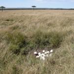 キチュワ・テンボ・エアストリップへ向かう途中、ダチョウの卵を見つけた。直径10cm以上にもなる巨大エッグ。